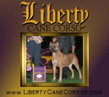 Liberty Cane Corso